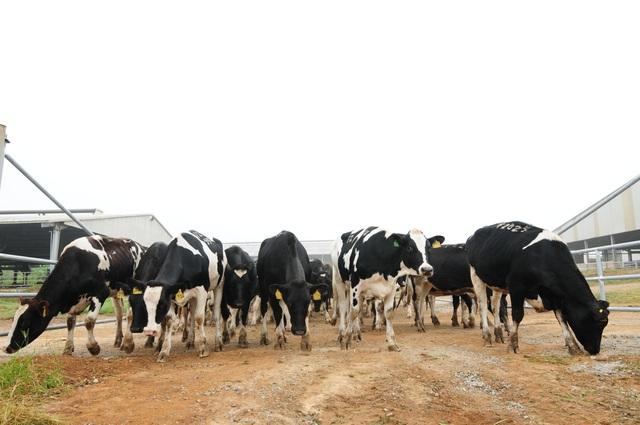 Đàn bò organic của trang trại TH.