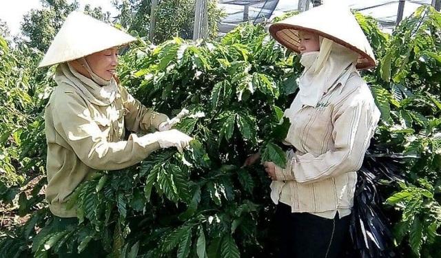 Người nông dân đã biết cách trồng cà phê sạch, chất lượng cà phê hạt cũng đã được nâng cao.